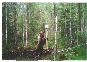 Karhu riistakamerassa